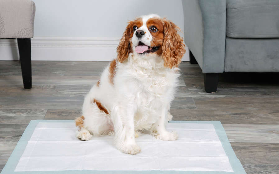 Small dog sitting on a Hartz Home Protection Odor Eliminating XL Dog Pad. Hartz Home Protection dog pads help eliminate dog odor.