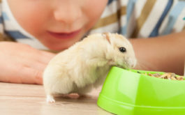 Small child watching his pet gerbil eating from a green bowl of food