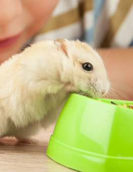 Student watching classroom pet gerbil as it eats food from a green bowl
