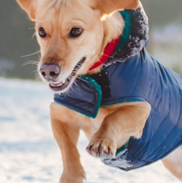 Small dog leaping into the air, wearing a puffy blue jacket, in the winter