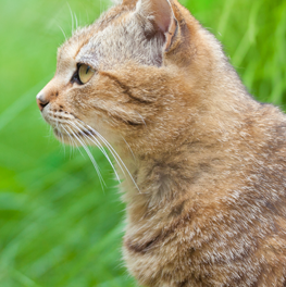Cat standing outside in the grass, after application of a flea and tick product