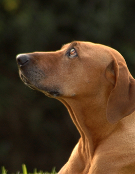 Dog yearning for approval from owner, during outdoor training session