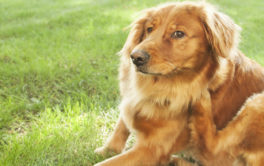A golden retriever seated on the grass, scratching at fleas or ticks
