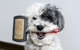Curly haired dog clenching handle of bristle brush in its mouth
