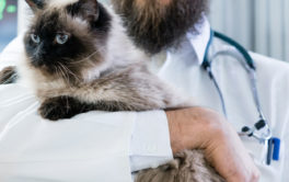 Blue eyed cat being held by veterinarian, before receiving vaccinations