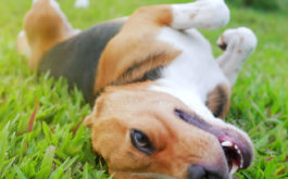 Dog rolling around in the grass, witnessed throughout the history of canines
