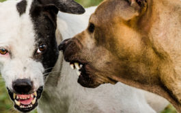 aggressive dogs aggression may be caused by lyme disease