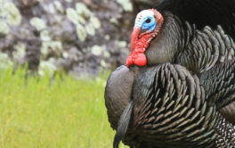 Wild turkey that may be able to control the tick population in your yard