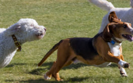 dogs playing at the dog park where they might get fleas