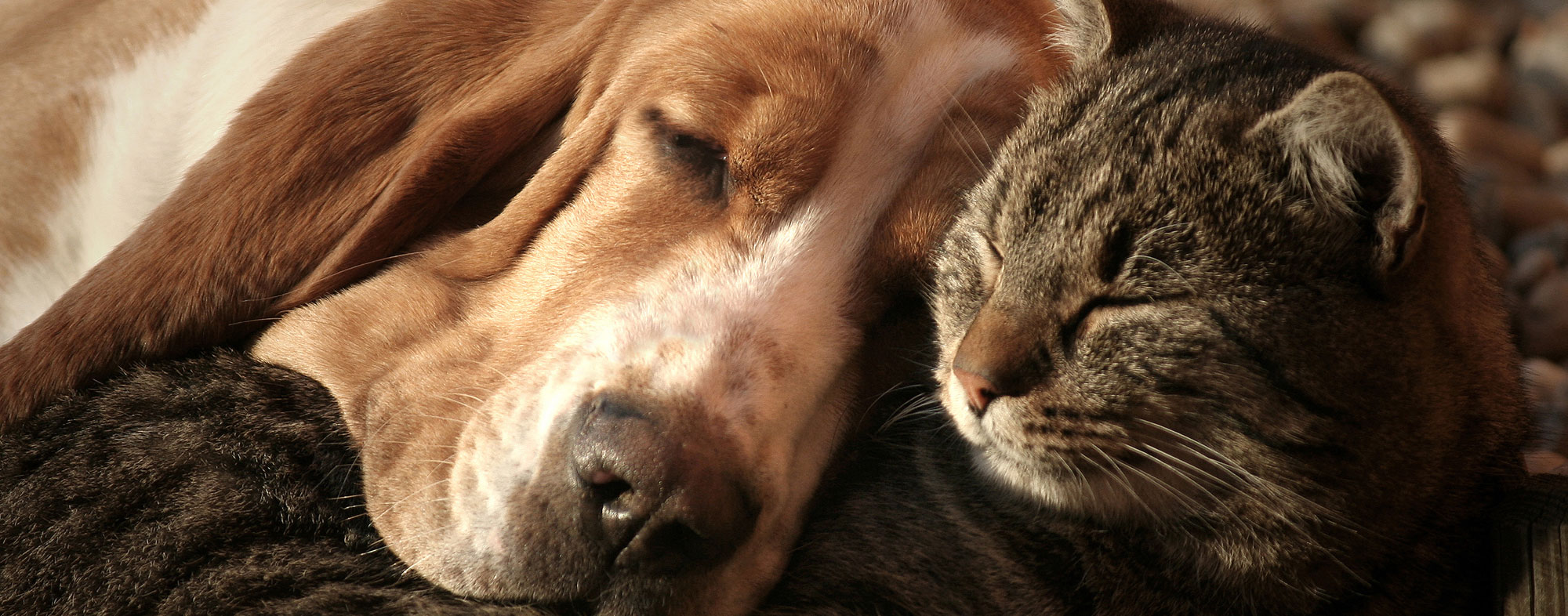 Dog and cat sleeping together. Be sure to use the right flea medicine on you dog and cat.