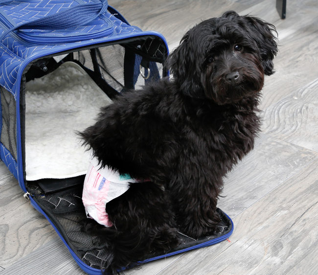 Hartz diapers for dogs can be used for travel.