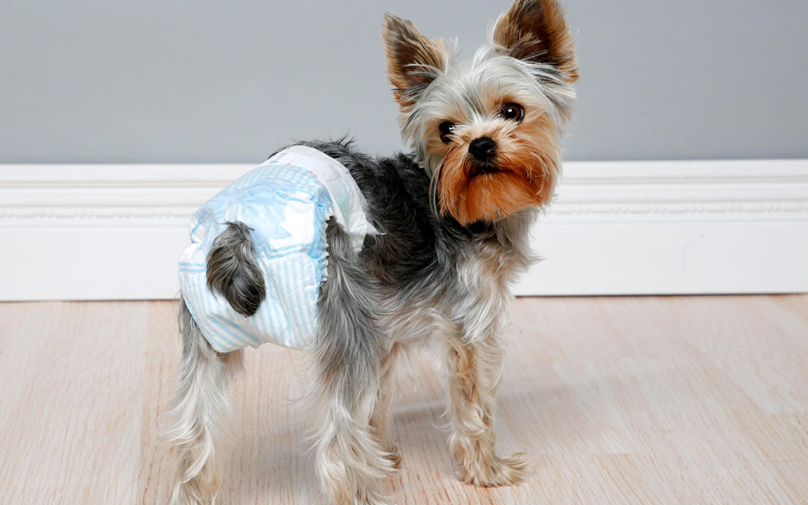 Small dog wearing a Hartz disposable diaper. Avoid unwanted accidents and allow your pet to interact more fully with you and your family. Hartz disposable diapers for dogs.