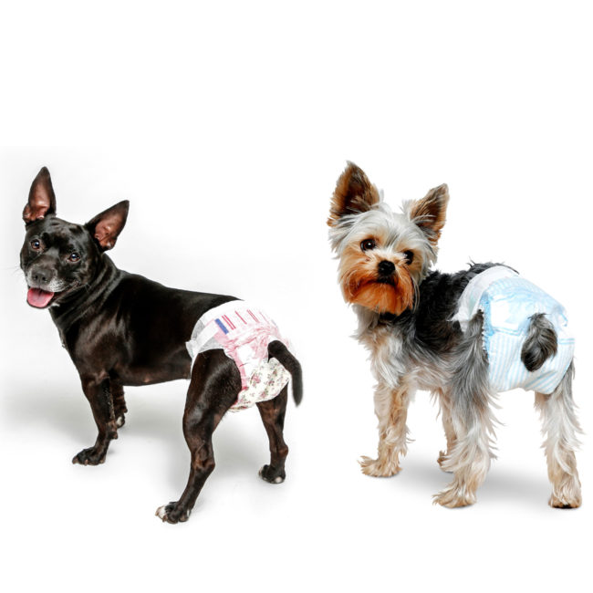 small dogs wearing dog diapers from Hartz