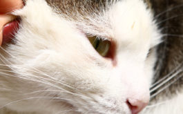 Tick being removed from a cats face by hand. Learn how to find ticks on your pet.