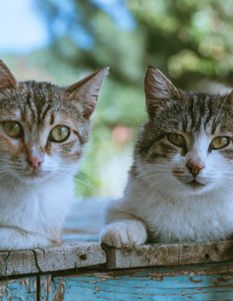 A pair of cats. Adopting cats in pairs is a great for cat bonding.