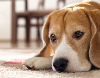 Image of a depressed dog. Learn more about dog depression.