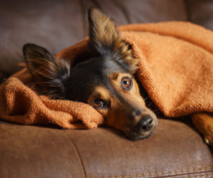 Dog on the sofa wrapped in a blanket. How to tell if you have a depressed dog.