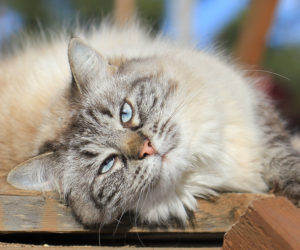 Long haired cat in the summer sun. Protect your cat from summer heat.