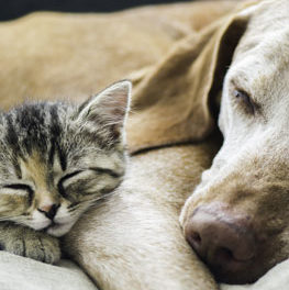 Dog and kitten sleeping together. Do cats and dogs get along?