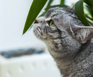 Cat sniffing the leaf of a houseplant. Learn about plants safe for dogs.