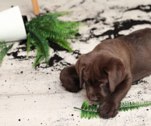 Puppy chewing on a houseplant. Keeping your pets safe around houseplants.