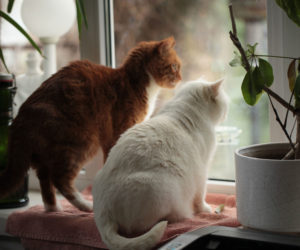 Two cats sitting at a window. Learn about introducing cats.