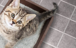 Cat in litter box staring at the camera. Litter box training for cats and kittens.