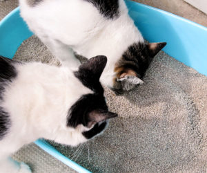 Two cat examining the cat litter box. Learn more about litter box training.