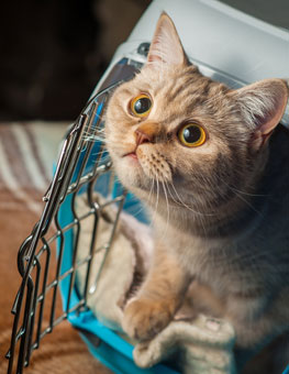Cat at opened cat carrier. Learn more about carrier training for cats.