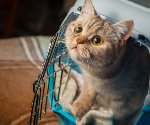 Curious cat in cat carrier. Carrier training for cats does not have to be complicated.