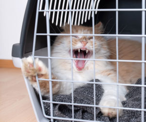 Angry cat in cat pet carrier.