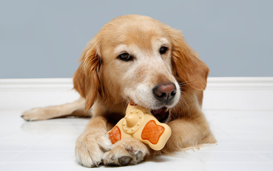 Golden retriever playing and chewing on a Hartz Chew 'n Clean Tri-Point medium dog toy. This toy is a great chew treat for dogs.