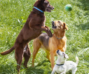 Dogs wearing Hartz ProMax flea and tick collars for dogs playing in the tall grass.