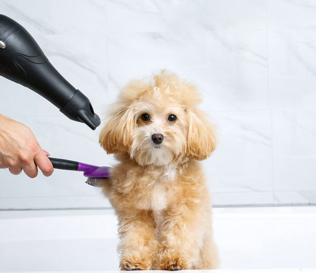 Dog being groomed and brushed after a bath with dog shampoo.