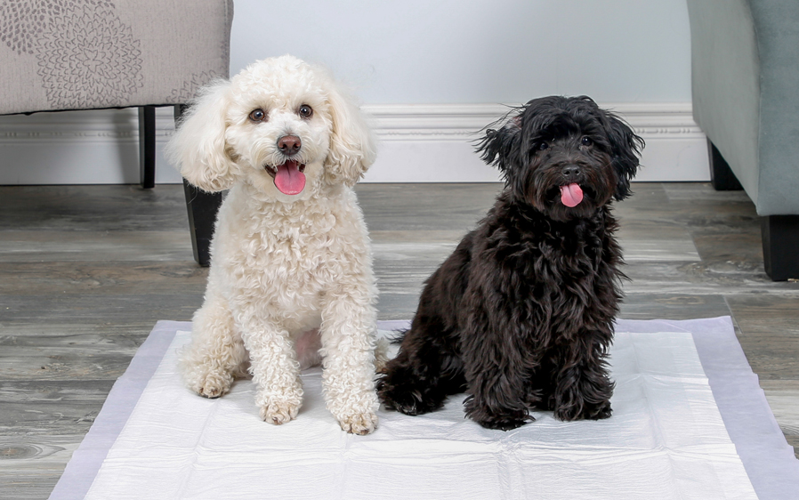 Two dogs sharing a Hartz Home Protection Odor Eliminating XXl dog pad.