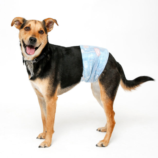 Dog wearing Hartz medium disposable male wrap for dogs