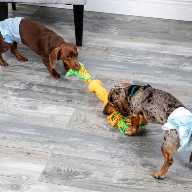 Hartz disposable male wraps. Dogs playing tug of war while wearing dog diapers.